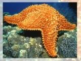 В этот раз представляем Вашему вниманию подборку пазлов про морских звезд. Выберите сложность и приступайте. Соберите кусочки картинки в правильном порядке как можно быстрее.