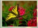 Бабочки красивейшие и нежнейшие существа на планете. Предлагаем вам несколько пазлов с фотографиями мотыльков. Постарайтесь собрать эти головоломки за минимальный промежуток времени.