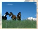 В этой игре нужно будет собирать пазлы про лошадей. Стрелочками на клавиатуре вы можете переворачивать кусочки пазла, а передвигать их нужно будет мышкой. Сложность и картинку вы можете подобрать по своему вкусу.