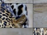 Если собрать все кубики в правильном положении, то вы получите красивейшую фотографию такого грациозного и дикого животного как леопард.