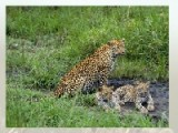 Выберите одну из фотографий с изображение леопардов и постарайтесь запомнить. После этого выберите сложность уровня. Потом постарайтесь как можно быстрее передвинуть кусочки пятнашек на свое место что бы восстановить картинку.